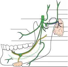 Otic And Submandibular Ganglia Photo