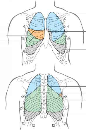 surface anatomy of lungs pdf