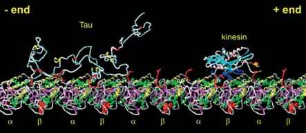 Tau Microtubule Binding Transport
