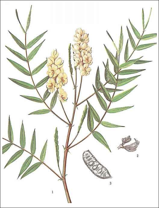 Cassia angustifolia vahl or Cassia acutifolia Delile Fam