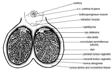Testis Tissue Diagram Sertoli Cells