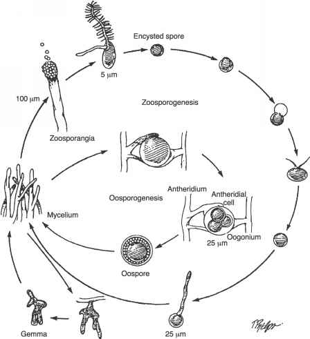 Saprolegnia Life Cycle