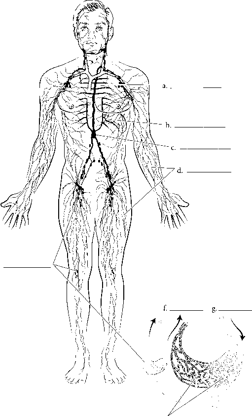 Label The Lymphatic System