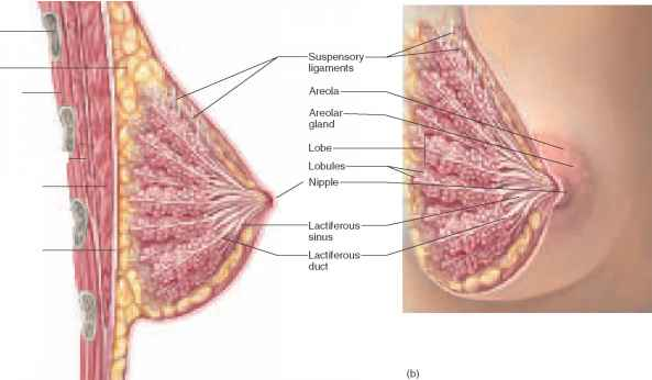 Coloured Photographs Breast Structure