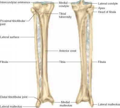 Tibia And Fibula Posterior View