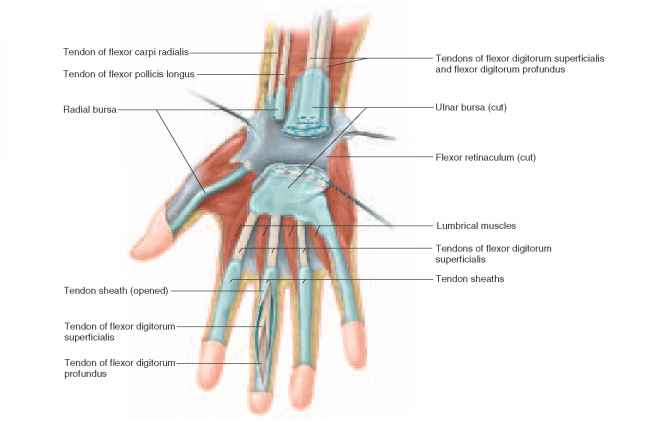 Biaxial Intercarpal Joints The Hand