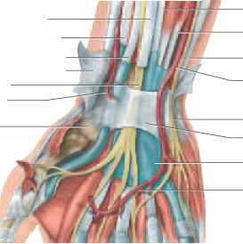 Palmar Carpal Ligament
