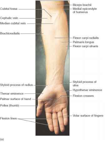 Upper Extremity Vein Diagram