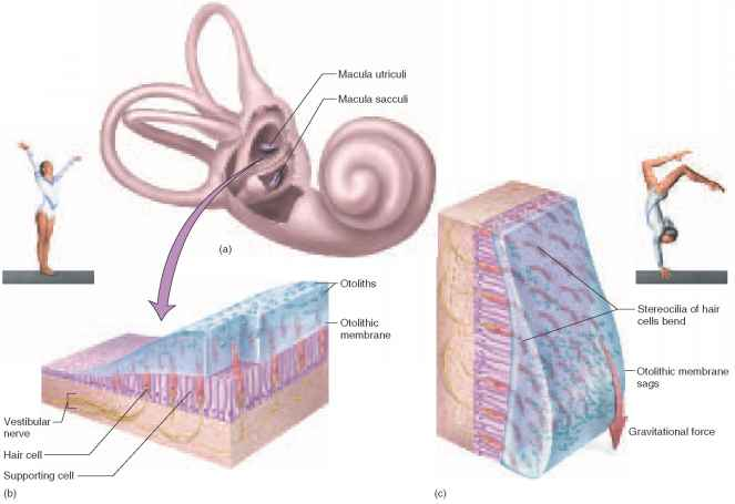 Structure Macula Utricle And Saccule