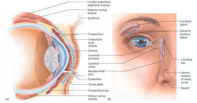 Eye Anatomy Accessory Structures
