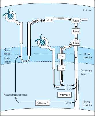 Loop Henle Countercurrent Mechanism