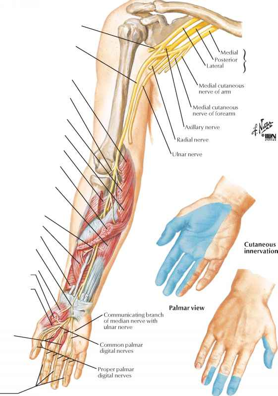 Median Nerve Course Lexor Digitorum