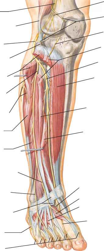 Neuroanatomy Superficial Peroneal Nerve
