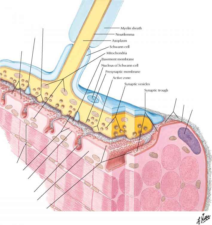 The Neuromuscular Junction Myofibril