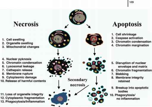Stages Apoptosis