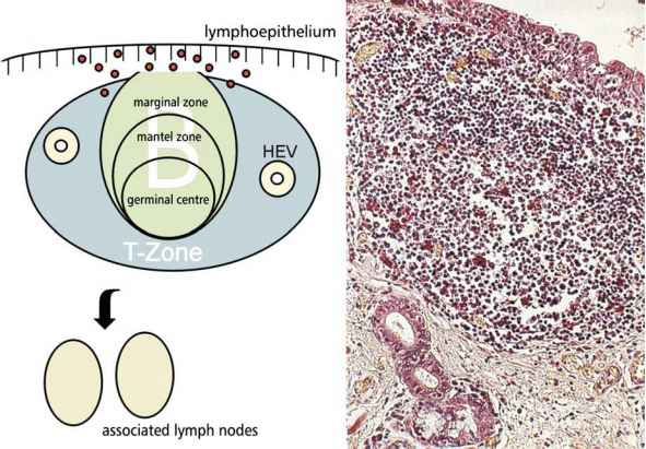 Lymphoid Tissue Mantle