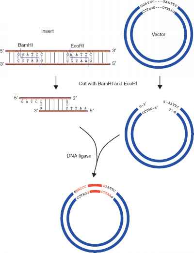 Dna Ligase Resteriction Enzyme