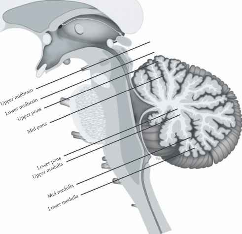 Sagittal View The Brainstem Labeled