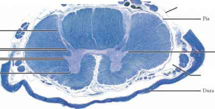 Subarachnoid Space And Histology