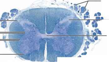 Spinal Cord Histology Picture