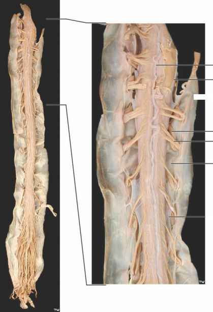 Ventral Dorsal Roots Spinal Cord