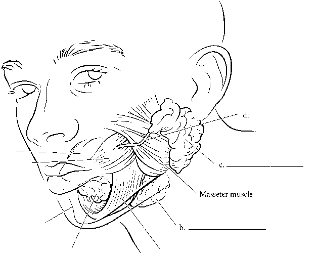 Mandibular Saliva Glands