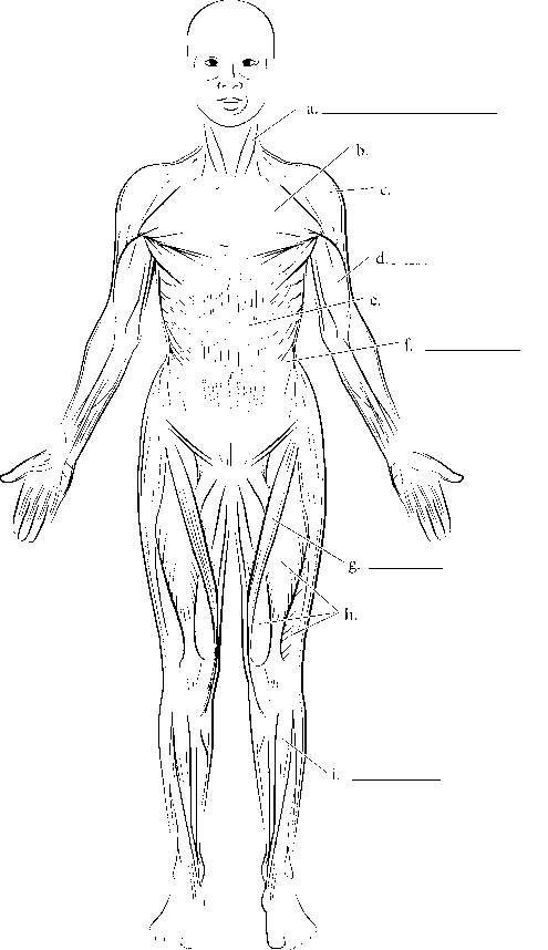 Human Body Major Muscle Groups