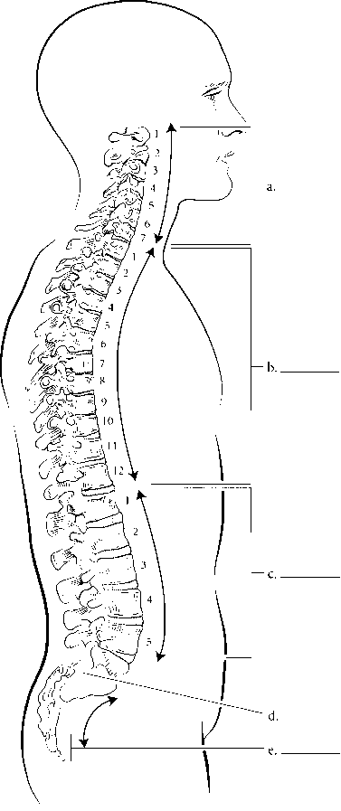 cervical curvature labeled - spinal cord