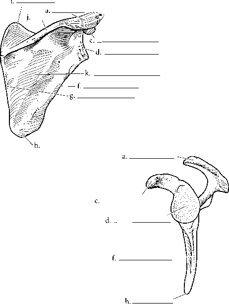 Anatomy Labeled Subscapular Fossa