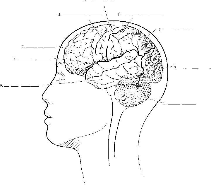 Brain Areas Label