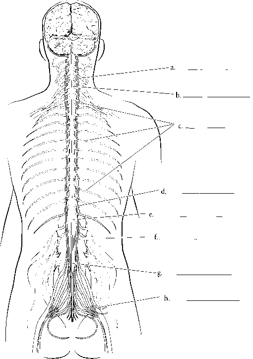Cervical Enlargement Spinal Cord