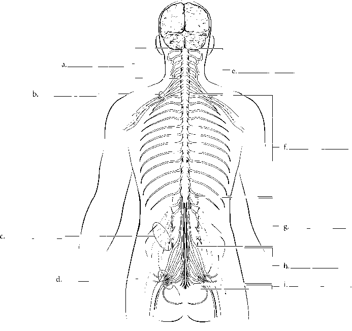 Sacral Plexus And Spinal Cord