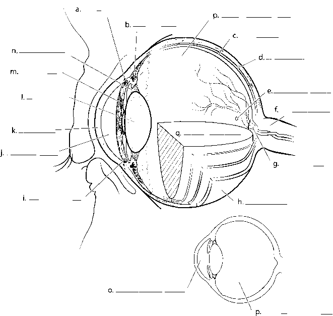 Label Median Section The Eye