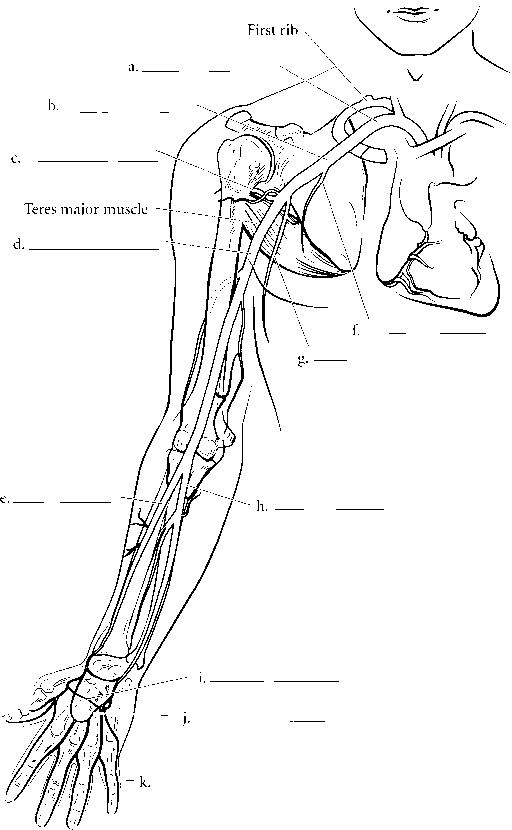 Upper Limb Arteries Without Label