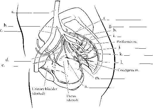 Male And Female Pelvic Arteries - Spinal Cord - RR School Of Nursing
