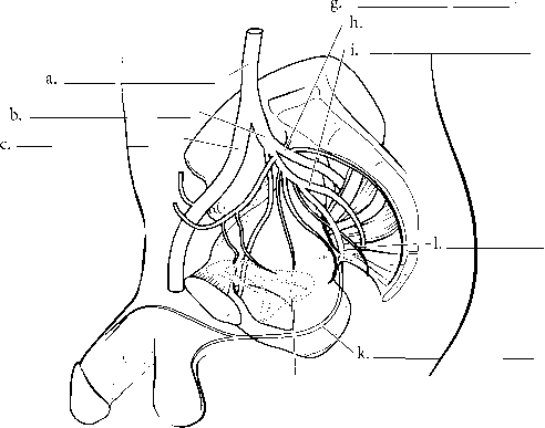 Male And Female Pelvic Arteries