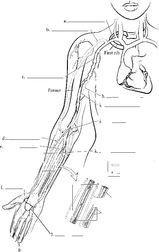 Upper Limb Arterial