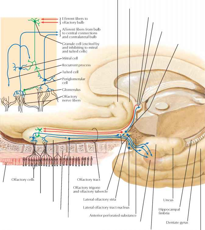 Anterior Olfactory Nucleus - Spinal Nerve