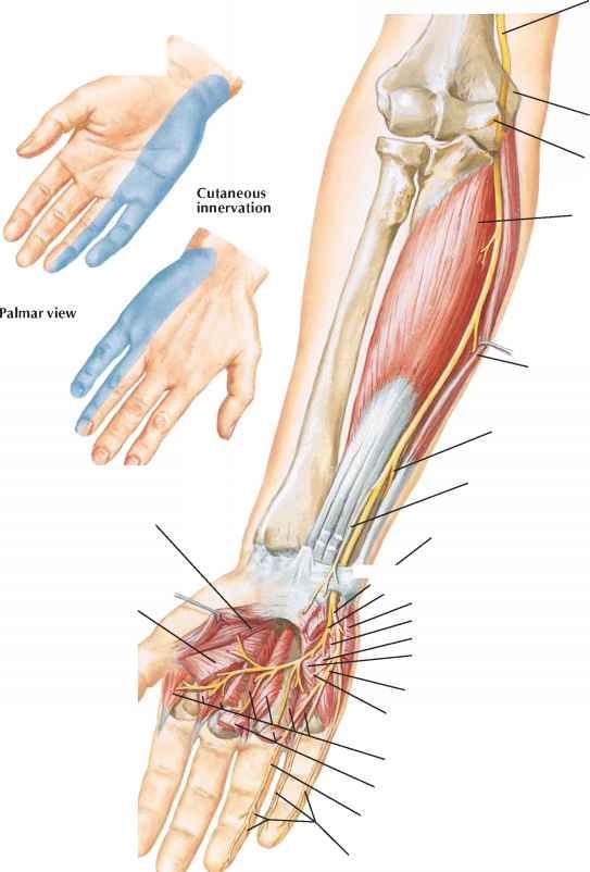Anterior Branch Median Nerve - Spinal Nerve - RR School Of Nursing