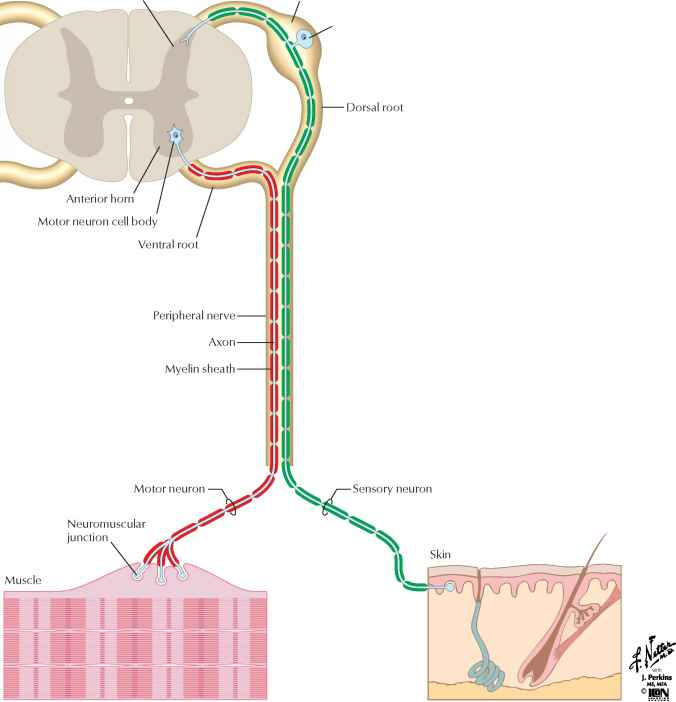 Spinal Cord Posterior Horn Sensory