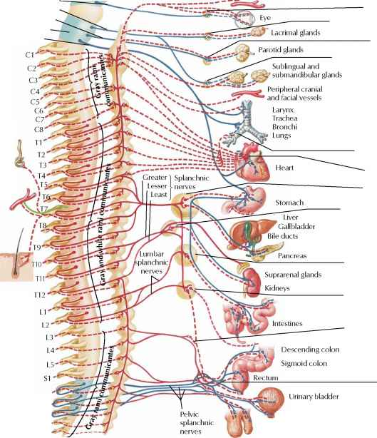 Medulla Oblongata Spinal Nerve Rr School Of Nursing