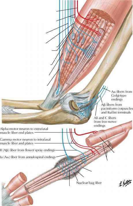 extrafusal fiber - spinal nerve - rr school of nursing, Muscles