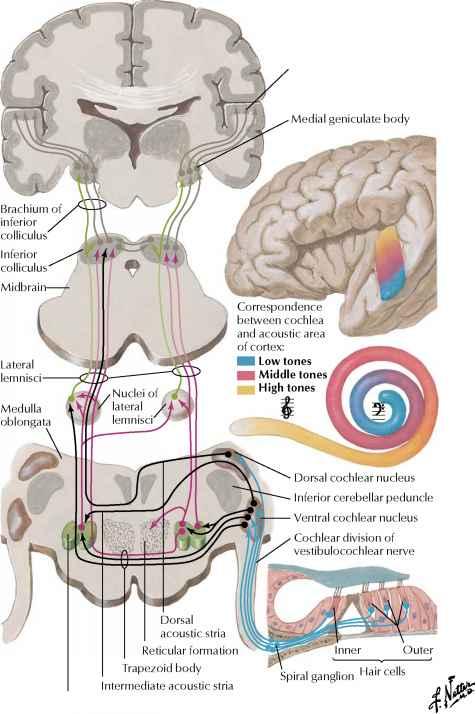 Reticular Formation Spinal Nerve Rr School Of Nursing