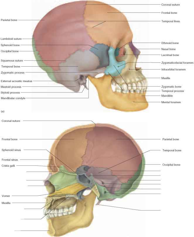 Cranial Bones - Unity Companies - RR School Of Nursing