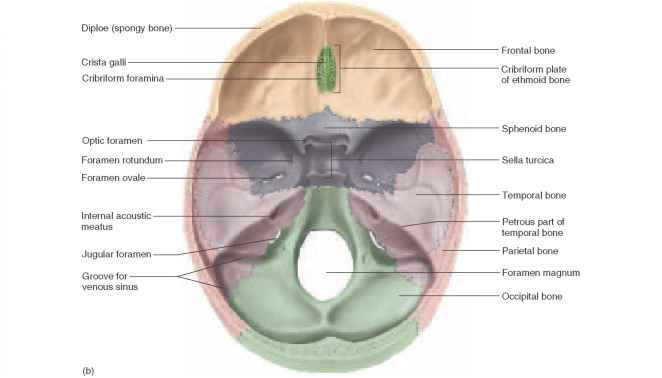 (a) Inferior View; (b) Internal View Of The Cranial Floor.