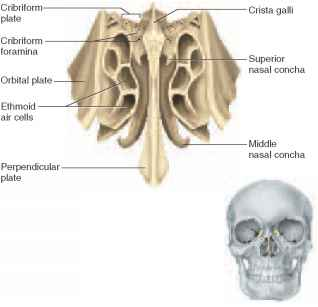 Ethmoid Bone Anterior View Unlabeled Cranial Bones -...