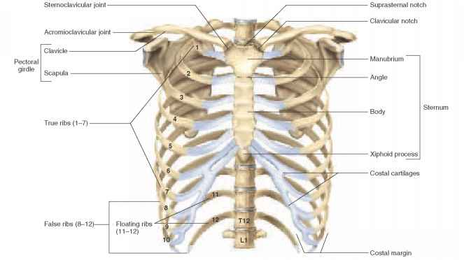 Anatomy of rib cage area