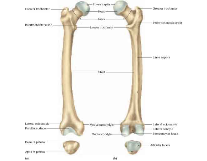 Dog Pelvis Anatomy additionally Femur Anterior And Posterior View ...