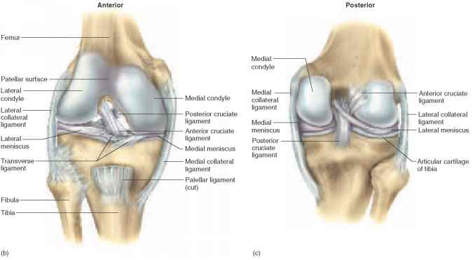 The Knee Joint - Unity Companies - RR School Of Nursing