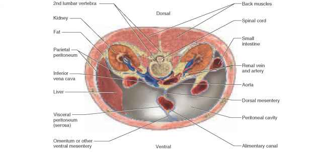 Body Cavities furthermore Female Digestive System Diagram Human Anatomy Digestive Female Reproductive And Digestive System further 16332913 in addition Biol 121 Chp 20 The Cardiovascular System The Heart likewise Chapter 1. on dorsal body cavities diagram